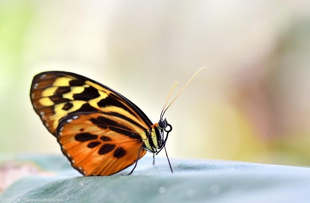 Pretty Wings - Hopelijk mogen we over niet al te lang de prachtige tropische vlindertuinen weer gaan bezoeken. Eentje uit het archief, een mooi exemplaar uit vlinde - foto door thirzaniemantsverdriet op 20-02-2021 - deze foto bevat: macro, natuur, vlinder, geel, oranje, zwart, insect, tropisch, vlindertuin