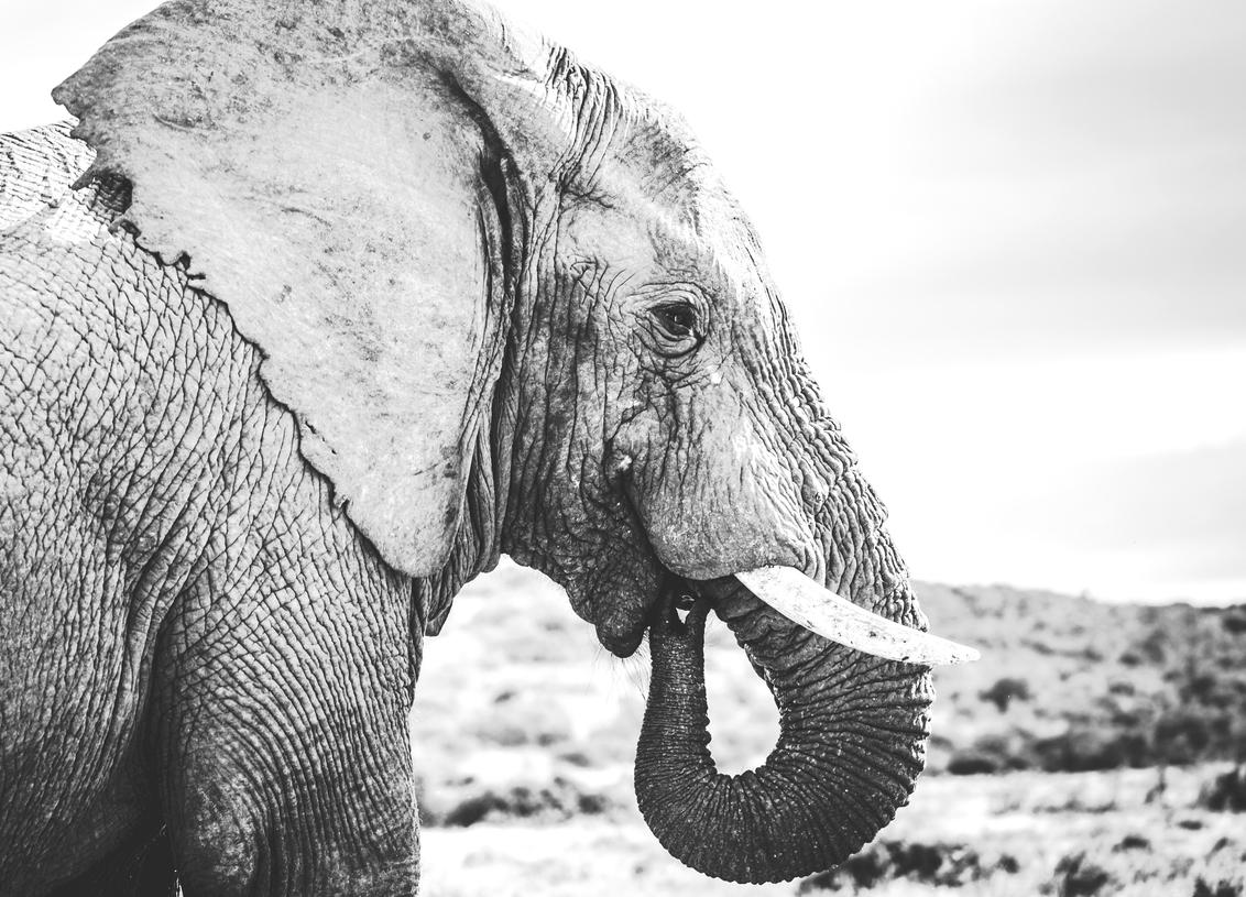 Afrikaanse olifant - zwart-wit portret van een Afrikaanse olifant genomen in het Kruger park te Zuid-Afrika. - foto door Dimilouwet op 06-10-2018 - deze foto bevat: natuur, dieren, safari, olifant, afrika, wildlife