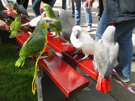 Kromsnavels die deelnamen aan de papegaaienwandeling in de Keukenhof.