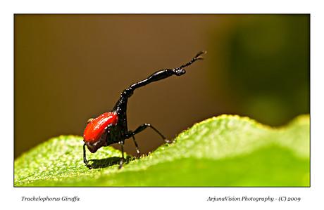 Giraffa Beetle