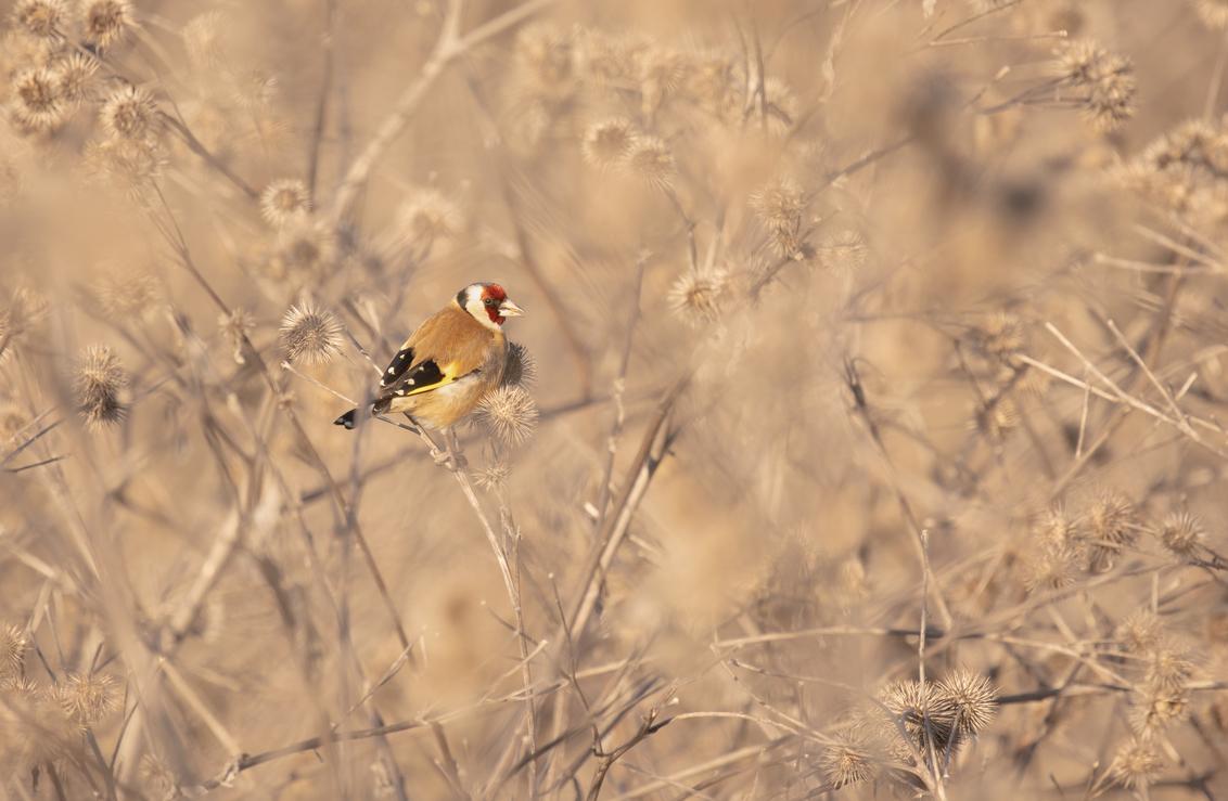 Dan maar zo.... - Tijdens een wandeling hoorde ik de putters maar kon ze niet meteen zien. Bij het naderen vlogen er enkele weg. Door de vrieskou zaten ze allen lekker - foto door franspelzer op 18-02-2021 - deze foto bevat: natuur, winter, dieren, vogel, putter, franspelzer