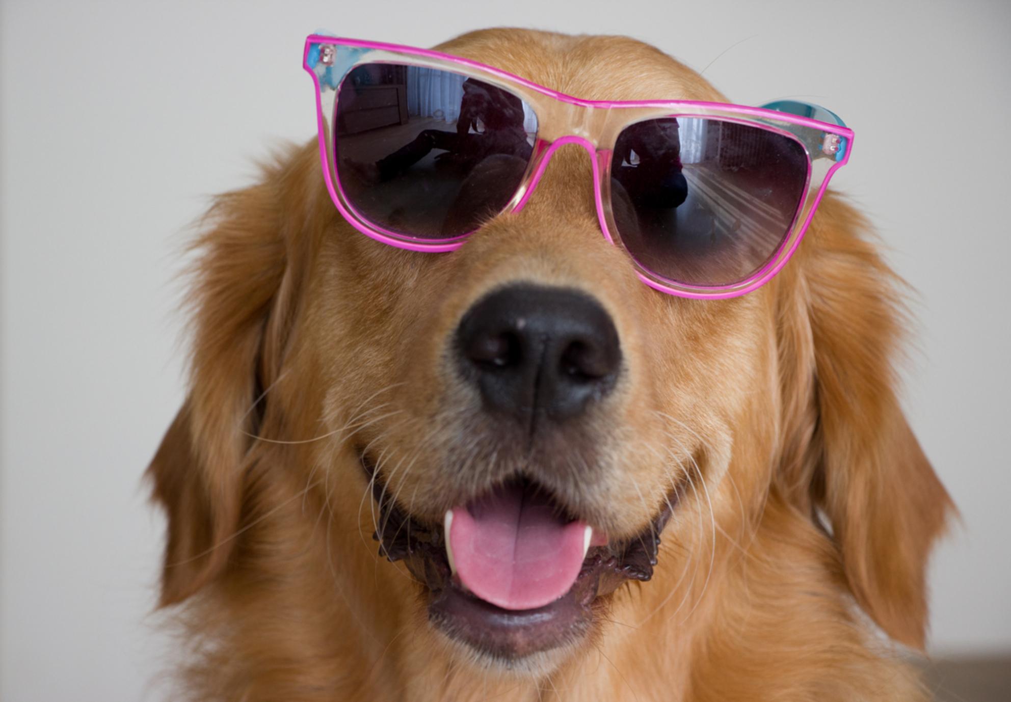 Zomer in je bol - . - foto door timras op 27-09-2013 - deze foto bevat: hond, zomer, zonnebril