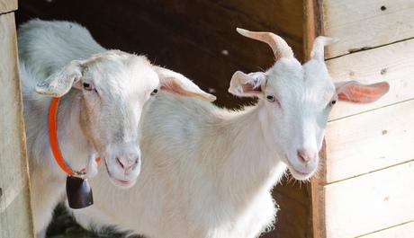 Toscaanse geiten