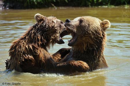 Ik zag twee beren... - - - foto door Foto_Graafie op 07-01-2020 - deze foto bevat: beren, bruine beren