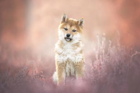 Suiru - - - foto door JudithVrugt op 05-04-2021 - deze foto bevat: natuur, portret, dieren, huisdier, heide, hond, puppy