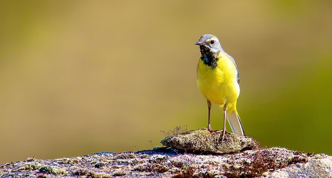 Grote gele kwikstaart - Deze vogel trekt in de winter weg uit broedgebieden langs stromend en stilstaand water in het Oosten van het land.In Limburg en steden en dorpen lang - foto door GerardvO op 15-01-2021 - deze foto bevat: natuur, vogel