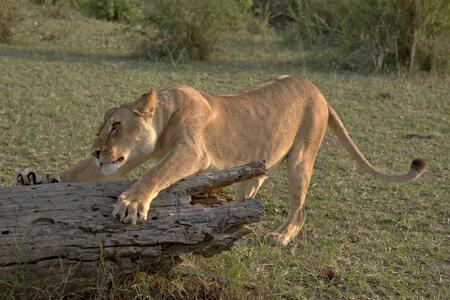 Tanzaniaanse krabpaal - - - foto door wd1956 op 24-07-2019 - deze foto bevat: leeuw, tanzania, serengeti