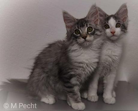 Maine coon kittens Luna en Dex