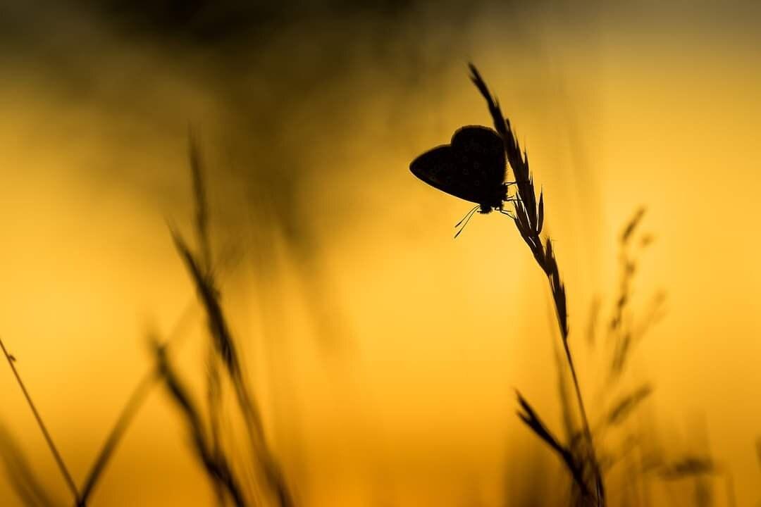 Goldenhour - - - foto door marcojongsma op 14-08-2020 - deze foto bevat: macro, natuur, vlinder, vlieg, blauwtje, geel, licht, zwart, tegenlicht, zomer, insect, dof, bokeh, heideblauwtjes