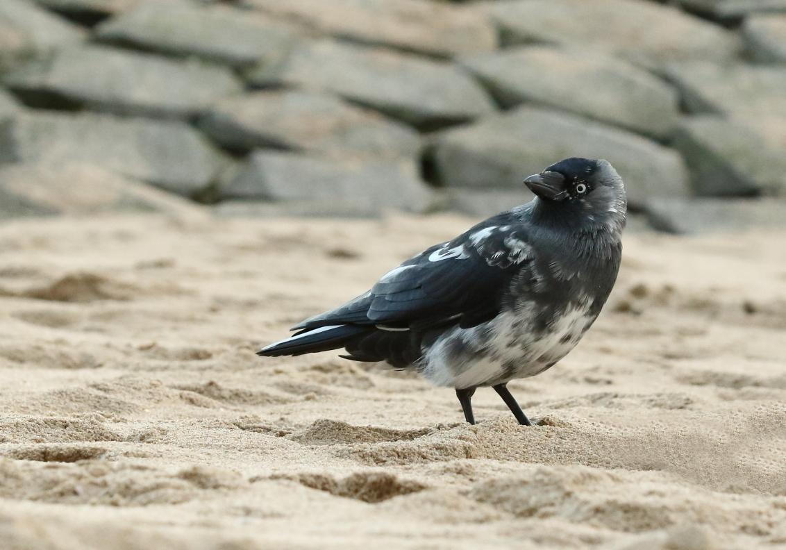 een vreemde ''eend'' in de bijt - kauw - foto door AnneliesV op 25-02-2021 - deze foto bevat: natuur, dieren, vogel