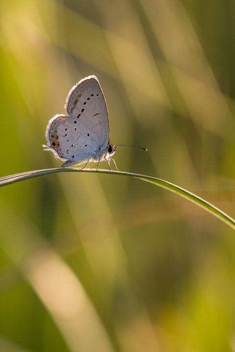Nog een staartblauwtje