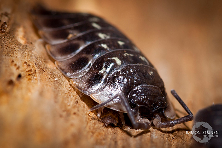 Pissebed met kleintje - Macro test shot - foto door eyefocus-76 op 12-11-2011 - deze foto bevat: macro, zoom, kever, klein, insekten, micro, insekt, pissebed, nikkor, tokina