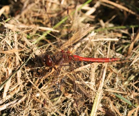 Bruinrode Heidelibel - - - foto door Frob op 21-09-2008 - deze foto bevat: heidelibel, libel, bruinrode, nootdorp, dobbeplas, frob