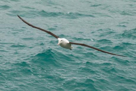 Northern Albatros in vlucht, Nieuw Zeeland
