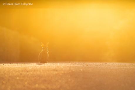 Sunrise rabbit