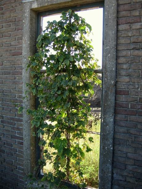Hop groeit in het raam