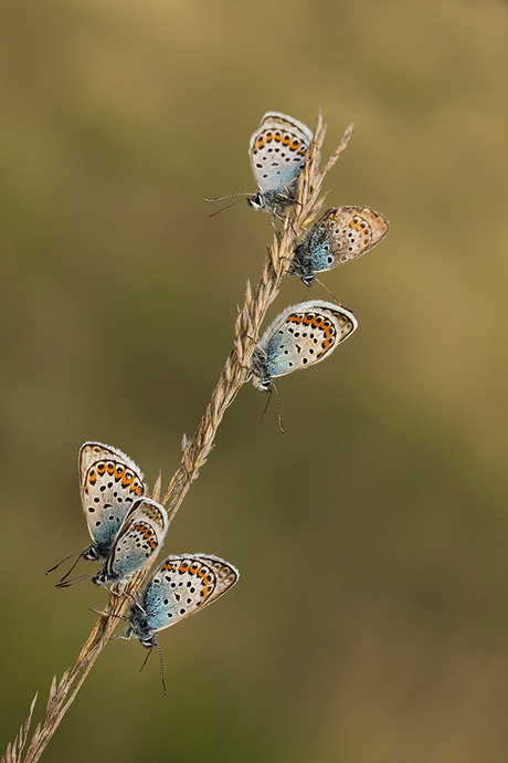 Heideblauwtjes 2