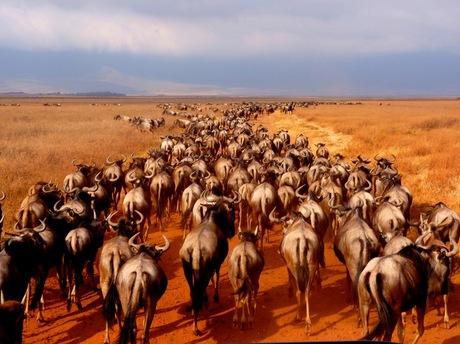 Gnoes in Ngorongoro
