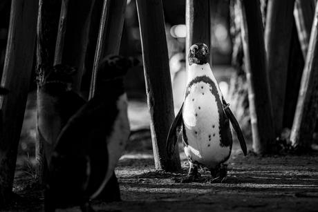 De Afrikaanse Penguin