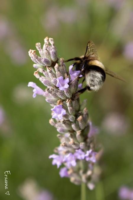 Hommeltje op lavendel - De lavendelstruik zit vol met bijtjes en hommeltjes. - foto door Erzanna op 16-08-2015 - deze foto bevat: macro, hommel, bloem, bij, tuin, zomer, insect