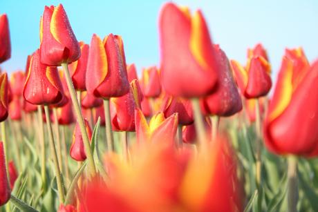 Tulpen in de dauw
