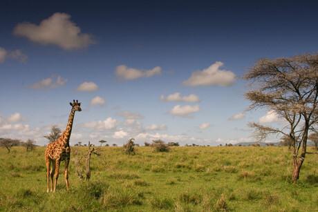 Serengeti Giraffe