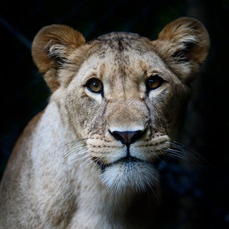 Jonge leeuw
