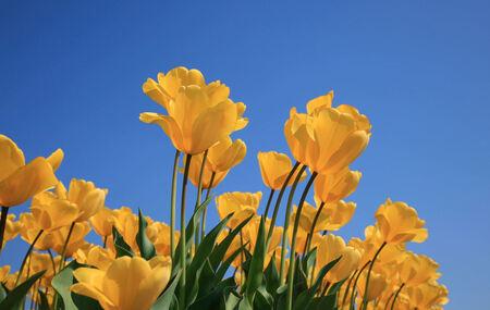 Nog 5 maandjes geduld - Lenteplaatje - foto door vkessel op 26-10-2013 - deze foto bevat: zon, bloem, lente, geel, tulp