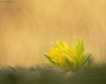 Voorjaar - Voorjaar.... nog wel koud, maar het zonnetje scheen vandaag. Heerlijk in de tuin van een vriendin de voorjaarsbloemen op de foto gezet. Daar was dez - foto door TinekevanPersie op 05-03-2021 - deze foto bevat: macro, bloem, natuur, geel, tuin, narcis, voorjaar, dof, bokeh, helios, van persie