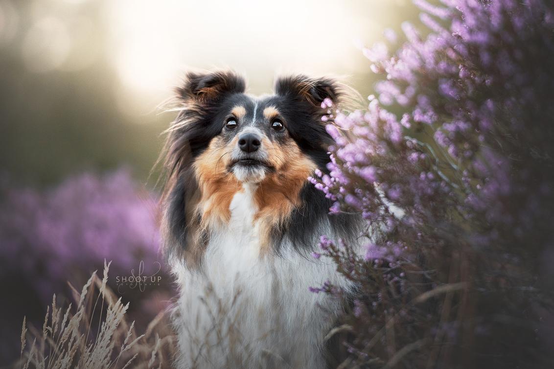 Skye in de hei - Skye in de heide, Augustus 2018 - foto door DorinevdV op 27-11-2018 - deze foto bevat: paars, zon, geel, licht, heide, hond, honden, gouden, dog, golden, goud, hei, zonlicht, shetland, fotografie, zacht, pastel, sheltie, uur, hour, sheepdog, hondenfotografie
