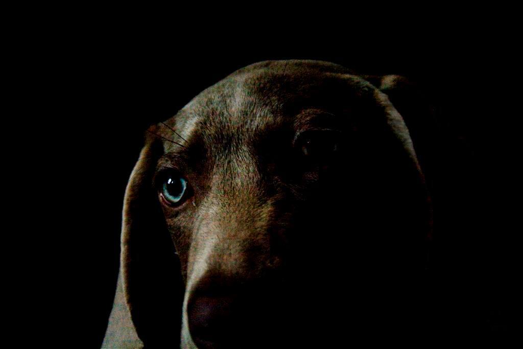 geen - - - foto door glimmend op 17-01-2010 - deze foto bevat: blauw, hond, pup, weimaraner