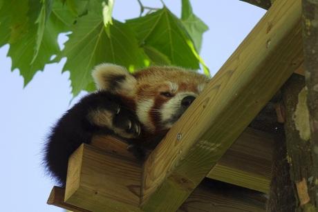 Rode Panda poseert moeiteloos..
