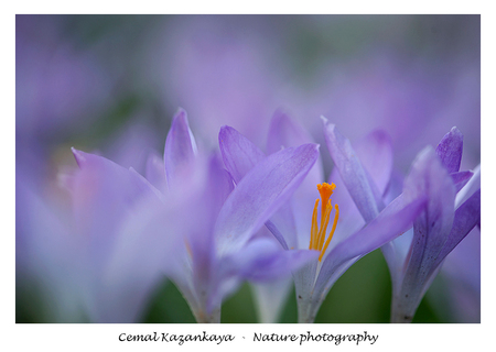 Krokussen - Krokussen.. - foto door CemalKazankaya op 26-02-2020 - deze foto bevat: groen, paars, macro, wit, blauw, bladeren, bloem, lente, natuur, bruin, geel, oranje, blad, voorjaar, dof, krokussen, bokeh, cemal kazankaya