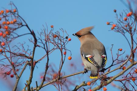 Pestvogel - Pestvogel of de Bohemian Waxwing. Deze zat afgelopen maand in de Hilversumse meent. Zich vol etend aan besjes. - foto door nikoen op 03-04-2014 - deze foto bevat: vogel