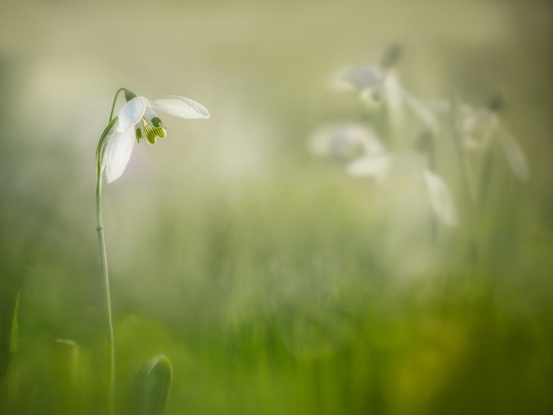 Springtime - In het park staan de sneeuwklokjes volop te bloeien. Ik vind het nog een hele uitdaging om ze ieder jaar weer een beetje anders vast te leggen. Geluk - foto door Berthe2 op 26-02-2021 - deze foto bevat: groen, lente, licht, voorjaar, sneeuwklokje, dof, bokeh, berthe2