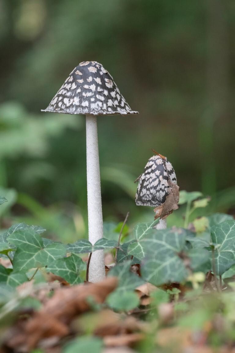 Spechtinktzwam - Ik was wat boeken aan het lezen en in een bepaald boek stond dat de zeldzame Spechtinktzwam o.a. voor kwam bij Huize De Voorst. Op wat site's aan het - foto door kiekazoo op 17-10-2020 - deze foto bevat: paddenstoel, zutphen, zeldzaam, eefde, fungi, spechtinktzwam, Huize de Voorst, kegelvormige hoed, kegelvormig, rinopsis picacea, psathyrellaceae
