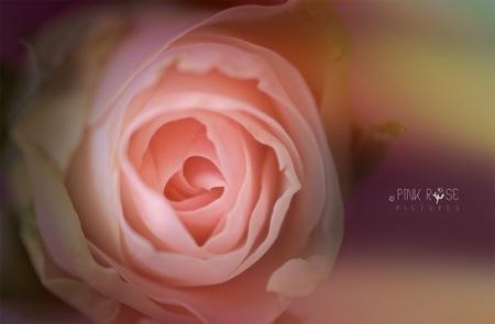 Selfie - Selfie  Super de fijne reacties bij mijn vorige upload.  Dankbaar... Lfs. Marieke - foto door PinkRosePictures op 28-03-2021 - deze foto bevat: roze, macro, bloem, natuur, roos, dof