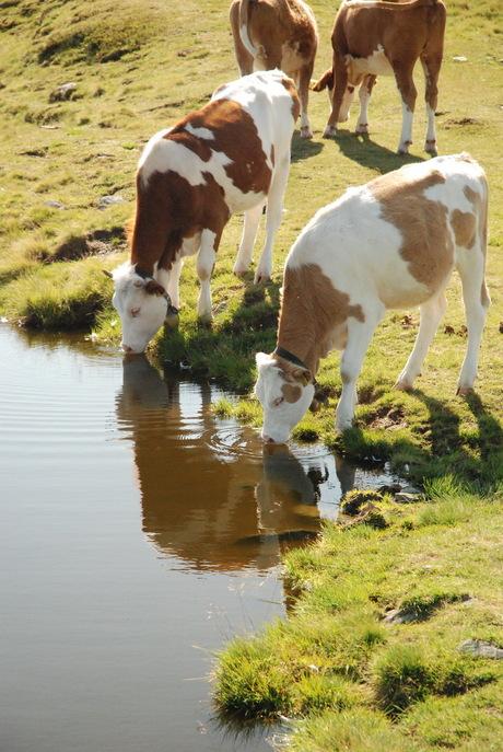 Drinkende koeien