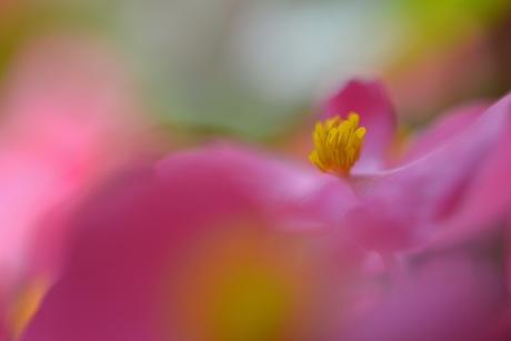 Begonia Balkonia