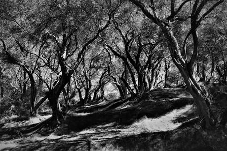 olijfbomen op Corfu (1)