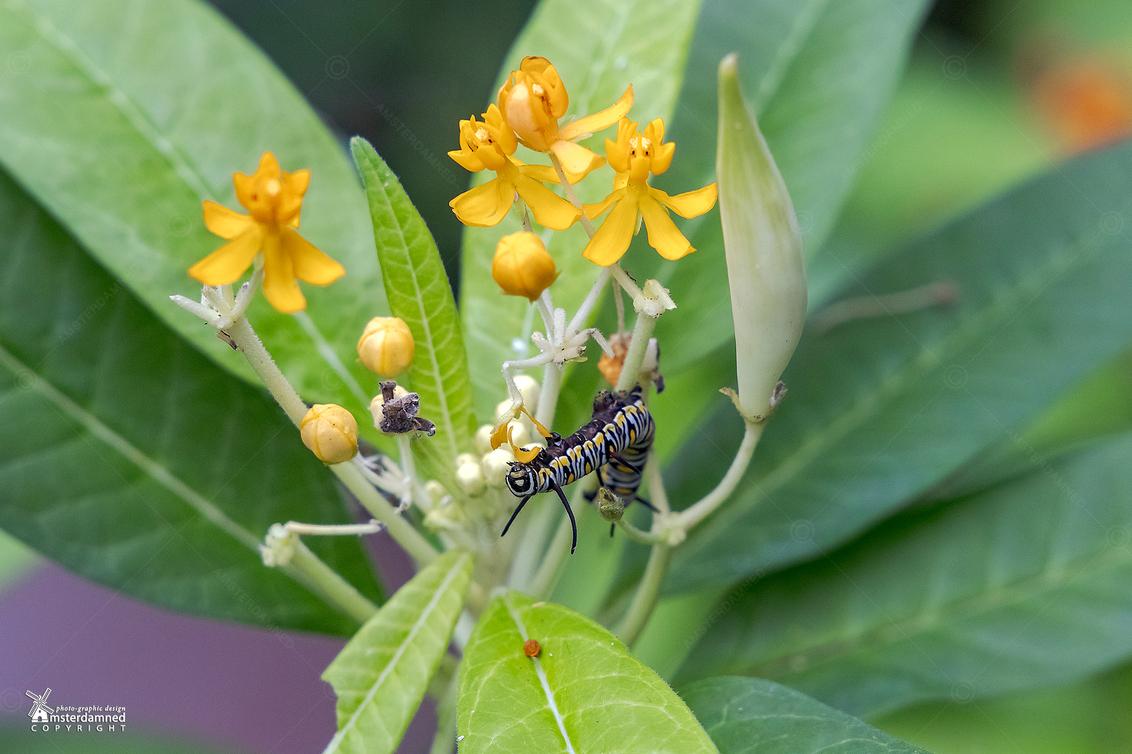 """Vlinders aan de Vliet - De rups van de monarchvlinder (Danaus plexippus) bij """"Vlinders aan de Vliet"""" in Leidschendam.  De rupsen eten de bladeren van verschillende soorten - foto door amsterdamned_zoom op 12-10-2020 - deze foto bevat: macro, plant, bloem, natuur, rups, holland, nederland, vlindertuin, leidschendam, amsterdamned, Gele bloem, monarch vlinder"""