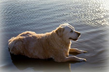 Even afkoelen.... - Egmond aan zee in de late avondzon. Na een hele warme dag vond onze hond Goldy het heerlijk om even af te koelen in de zee. - foto door goldy_zoom op 28-07-2012 - deze foto bevat: zon, zee, avond, zonsondergang, hond, zomer