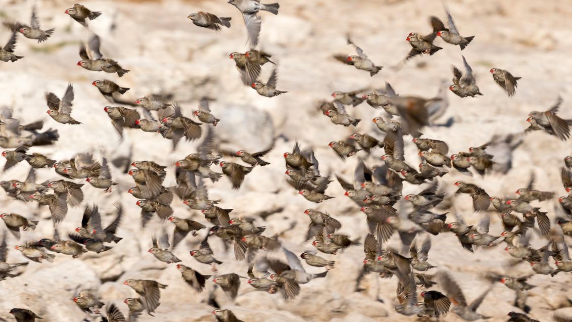 Vogel mania - Een zwerm wevers nabij een waterplas in Namibië. Telkens gingen ze als zwerm water drinken om vervolgens weer snel veilig in een boom te gaan zitten. - foto door peter-grobbee op 20-01-2018 - deze foto bevat: natuur, vogels, vakantie, dieren, safari, vogel, africa, namibie, zwerm, wevers