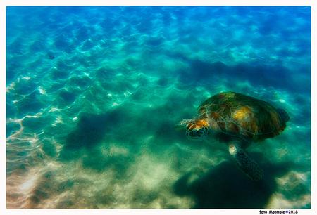 Turtle again - Nog maar eentje…..  Met de reacties van mij even wat minder, drukke tijden op het werk en thuis. Maar ik doe mijn best.  Bedankt voor de reacties o - foto door mgompie op 01-11-2018 - deze foto bevat: water, schildpad, wildlife, curacao, snorkelen, mgompie