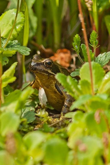 Rondje tuin (1) - Even op expeditie in onze eigen tuin en weer genoeg te zien. Van heel normaal, deze kikker tussen het groen naar heel bijzonder(zie de volgende).   - foto door harry-18 op 04-05-2012 - deze foto bevat: kikker, tuin