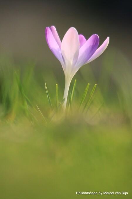 Voorjaar - Hoewel het eigenlijk nog winter is staan de krokussen al in bloei. Op naar het voorjaar - foto door hollandscape op 25-02-2014 - deze foto bevat: paars, bloem, spring, krokus, voorjaar, flower, Hollandscape, marcel van rijn