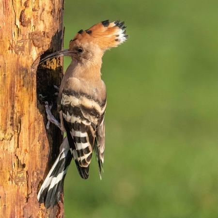 Hop - - - foto door BertK52 op 27-11-2020 - deze foto bevat: natuur, dieren, vogel, de valk roofvogels vogelhut