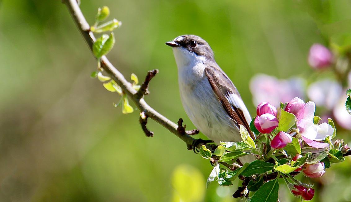 Bonte vliegenvanger - Deze leuke vogel hopen we binnenkort weer te kunnen begroeten vanuit hun overwinteringsgebied in tropisch West-Afrika.Ze broeden in nestkasten en zij - foto door GerardvO op 28-03-2021 - deze foto bevat: natuur, vogel