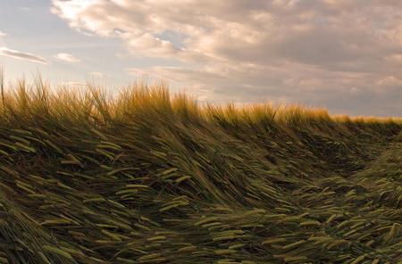 Landleven II - Oost Groningen in de herkansing :) - foto door hillegonda op 18-07-2012 - deze foto bevat: wolken, graan, land, groningen, landleven, veld, koren, rural