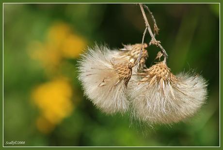 tweeling pluis